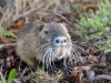 Biber / wild beaver